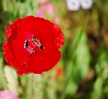 Pop Goes the Poppy by Lacey Kirsch