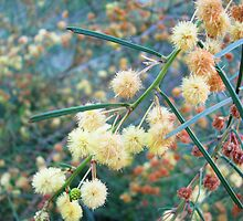 Drying Wattle, Summertime by Lunchbox