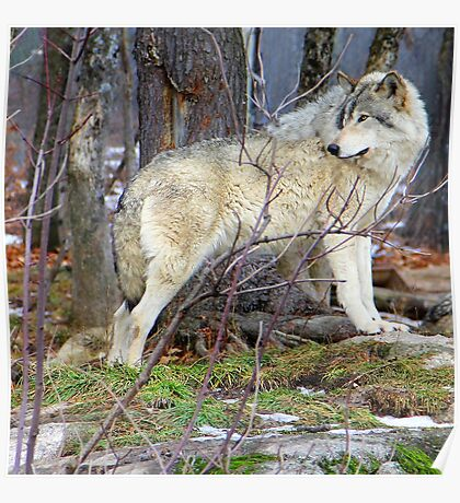 Timber Wolf on the Alert Poster