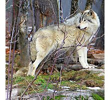 Timber Wolf on the Alert Photographic Print
