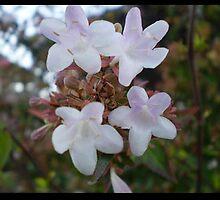 Little White Flowers by elizabethrose05