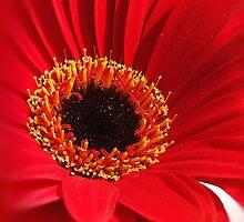 Red Gerbera by HippyDi