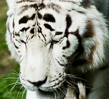White Tiger by Samantha Coe