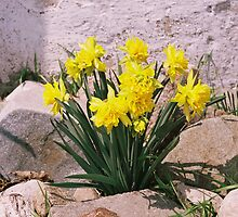Rocky Daffodils by FlowersofWhimsy