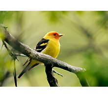Western Tanager II Photographic Print