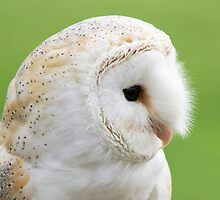 Barn Owl by Ron Hindhaugh