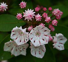 Mountain Laurel blooms by Leo Sapene