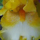 Yellow Iris by lareejc