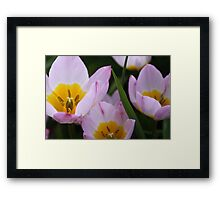 Lovely light purple tulip flowers.   Framed Print