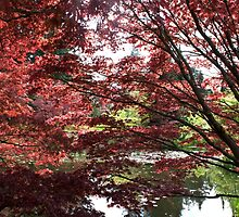 Japanese Maple Trees by naturematters