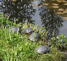 Turtles by the pond by naturematters