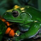 White's Tree Frog by Creative Captures