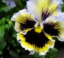 Pansy after the Rain by Charissa V Wilce