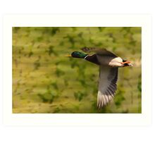 Mallard Drake - Flight Art Print