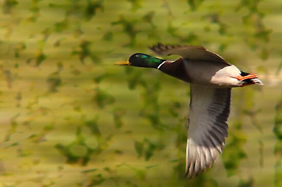 Mallard Drake - Flight by Ryan Houston