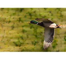 Mallard Drake - Flight Photographic Print