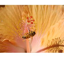 Orange Bee Stamen Hibicus Shadow Photographic Print