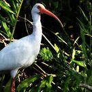 White Ibis by Shelley Neff
