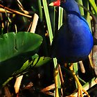 Purple Gallinule by Shelley Neff