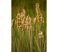 Rushes and Reeds Photographic Print