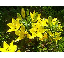 Beautious lilies o' th' Day Photographic Print