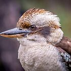 Kookaburra by Michael  Pitts