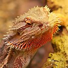 Bearded Dragon by jdmphotography