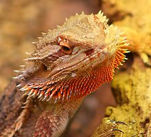 Bearded Dragon by jdmphotography