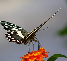 Lime swallowtail (Butterfly) by jdmphotography