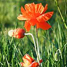 Poppies by stopthat