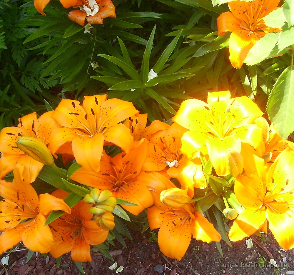 Britenezz o'  lily blossoms of yellow and orange - Golden Corral series by Thomas Josiah Chappelle