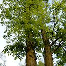 Shagbark Hickory by stopthat