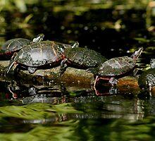 Turtles by Mark  Larlham