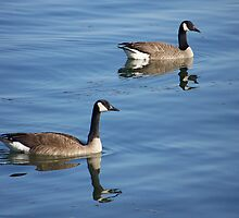 Canada Geese by Vulcan Spark Studios