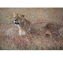 Lion in the Grass, Maasai Mara, Kenya  Photographic Print