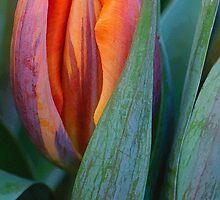 Shy Tulip by Gerda Grice