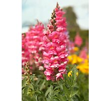 Hot pink snapdragon Photographic Print