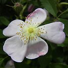 wildly rose by budrfli