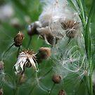 Milkweed Fireworks by Geno Rugh