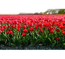 May I offer you a bunch of tulips? Photographic Print