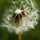 Dandelion  by Charlotte Pridding