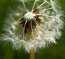 Dandelion  by Charlotte Pridding