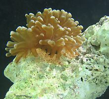 coral by abawana