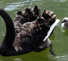 Black Swan and Cygnet by Dave Law