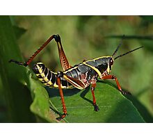 Juvenile Lubber Grasshopper Photographic Print