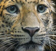 leopard in Jardin des Plantes in Paris  by brigdale
