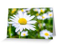 Alpine Daisy  Greeting Card