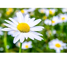 Alpine Daisy  Photographic Print