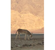 Wild Donkey Photographic Print