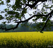 Fields of Gold by Louise Morris